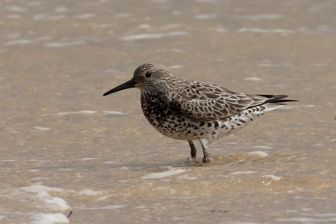 Great Knot (Image ID 34244)