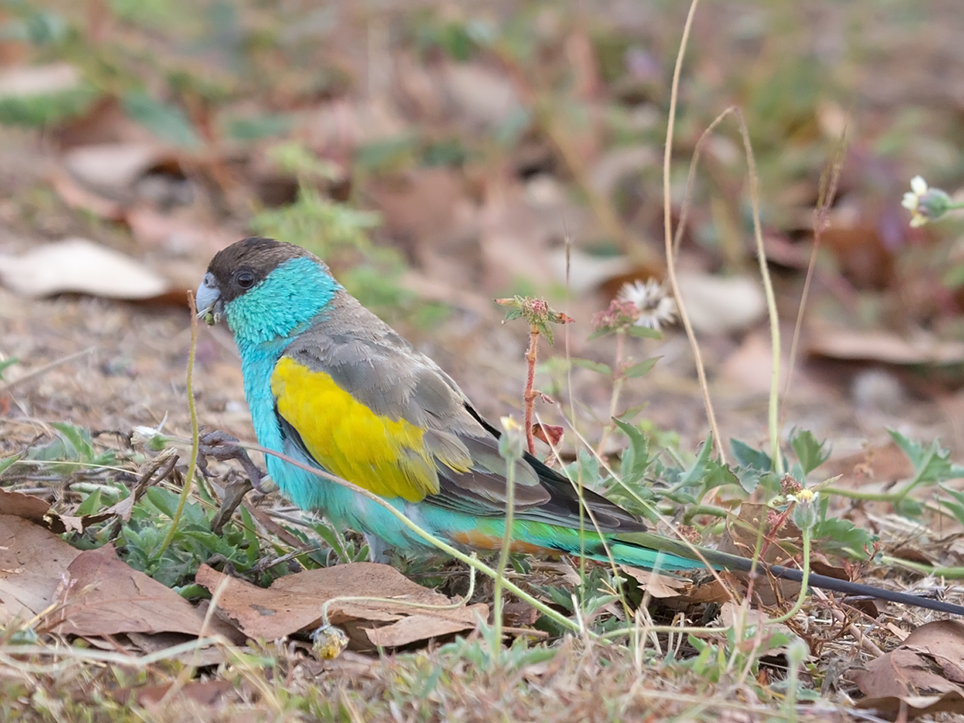 Hooded Parrot (Image ID 33980)