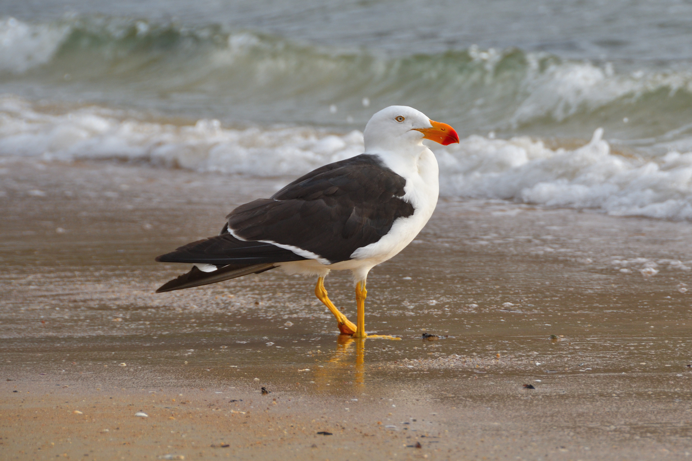 Pacific Gull (Image ID 34018)