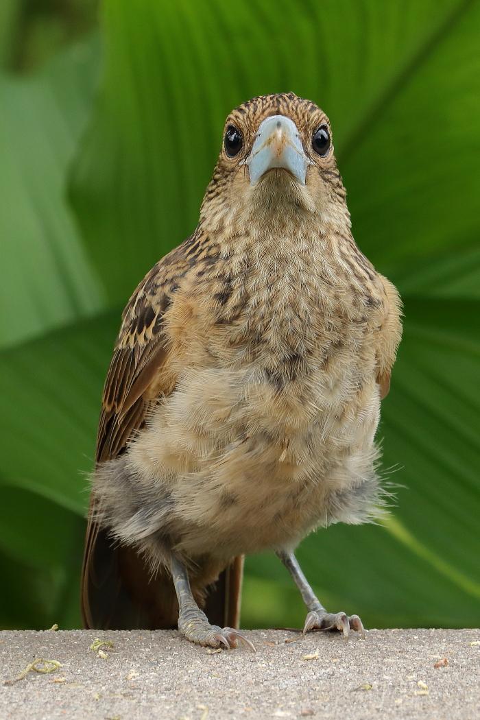 Black Butcherbird (Image ID 34050)