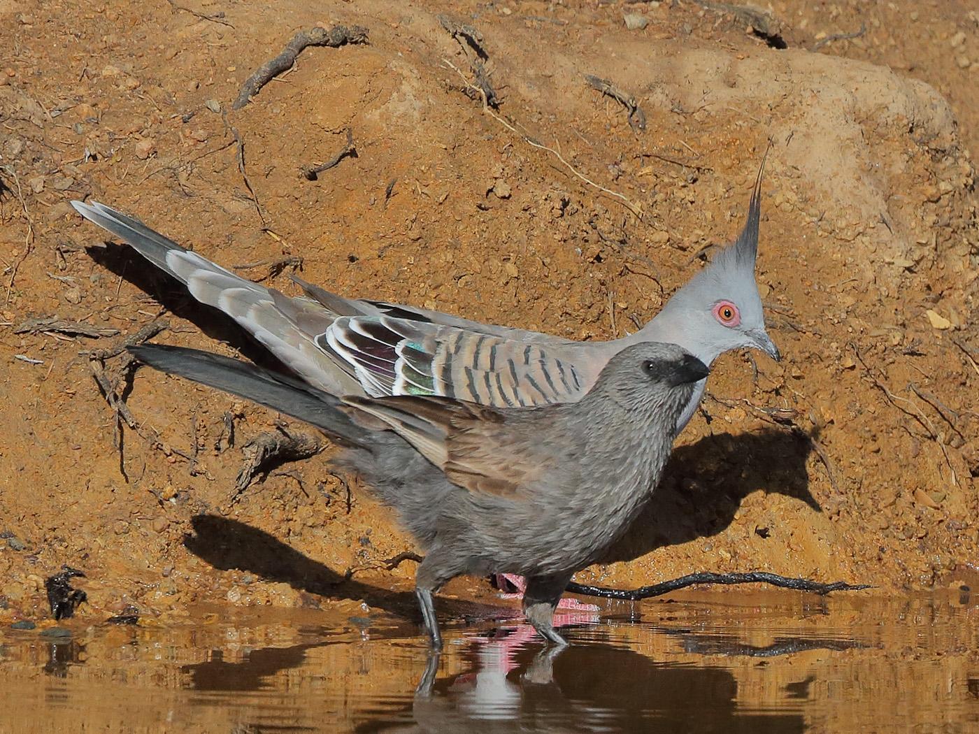 Apostlebird, Crested Pigeon (Image ID 34191)