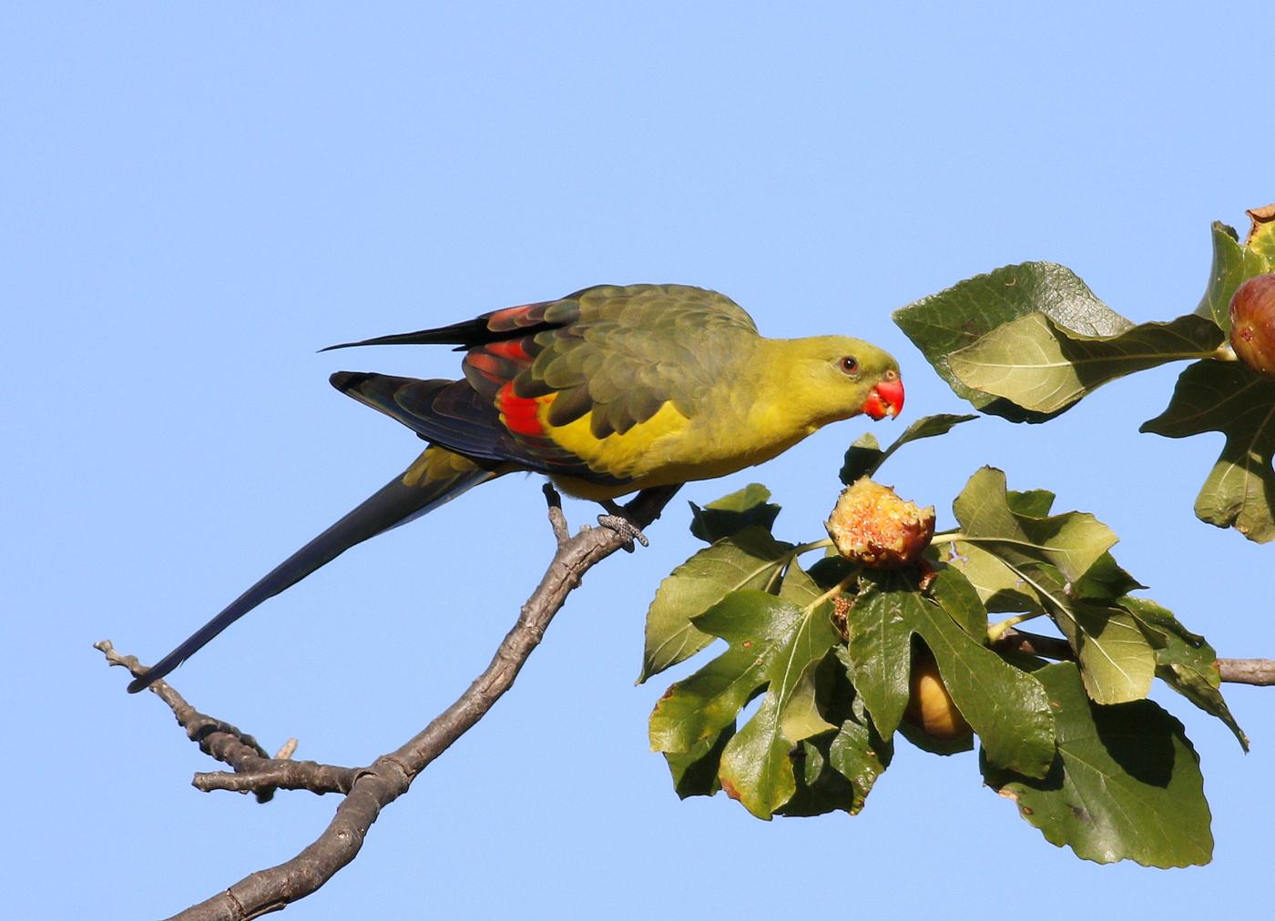 Regent Parrot (Image ID 34206)