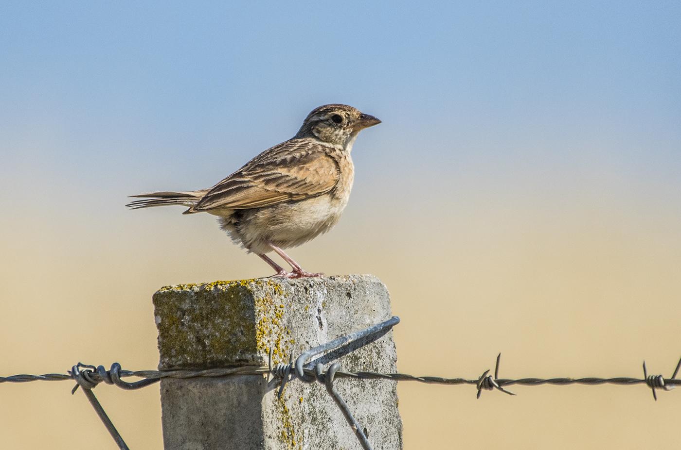 Horsfield's Bushlark (Image ID 33985)