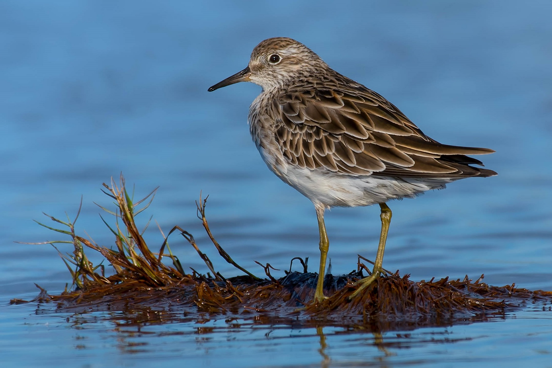 Sharp-tailed Sandpiper (Image ID 34265)