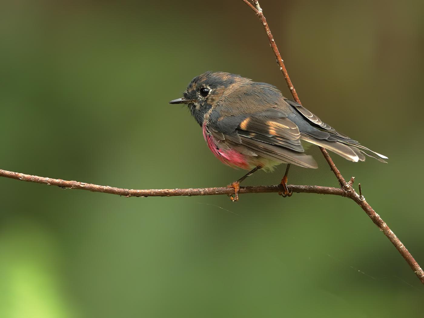 Pink Robin (Image ID 34154)