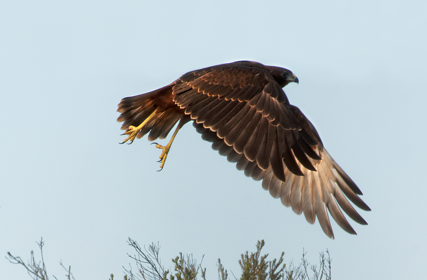 Swamp Harrier (Image ID 33913)