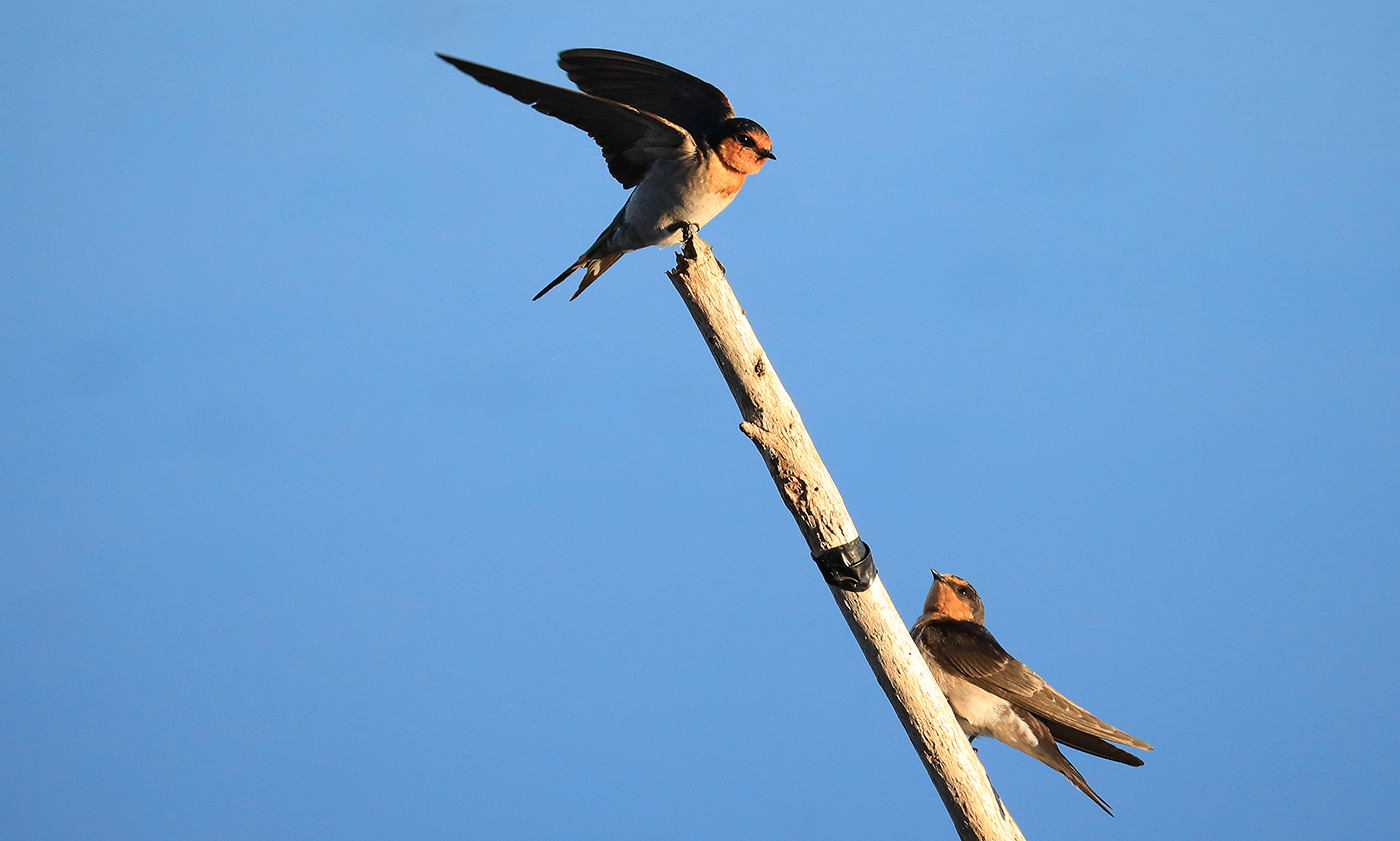 Welcome Swallow (Image ID 34056)
