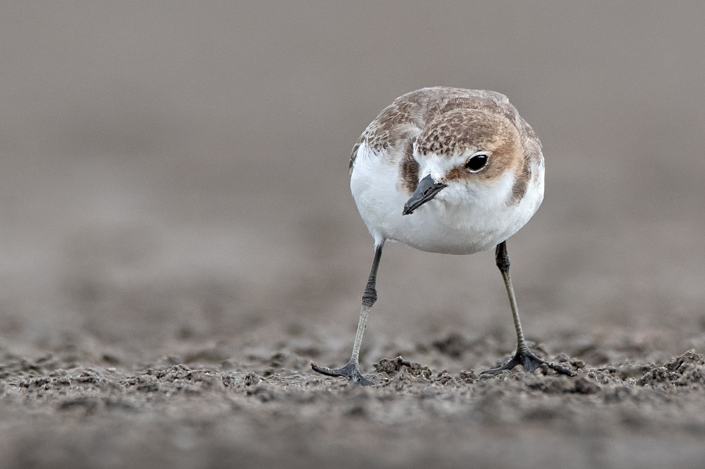 Red-capped Plover (Image ID 34352)