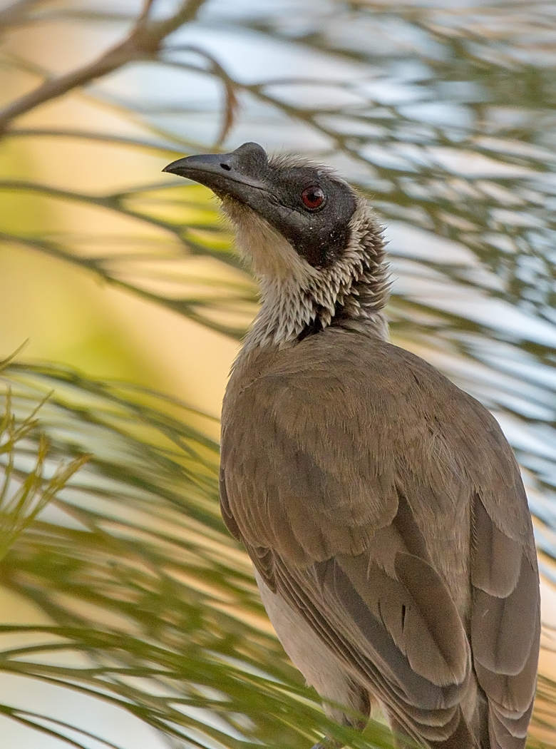 Silver-crowned Friarbird (Image ID 34320)