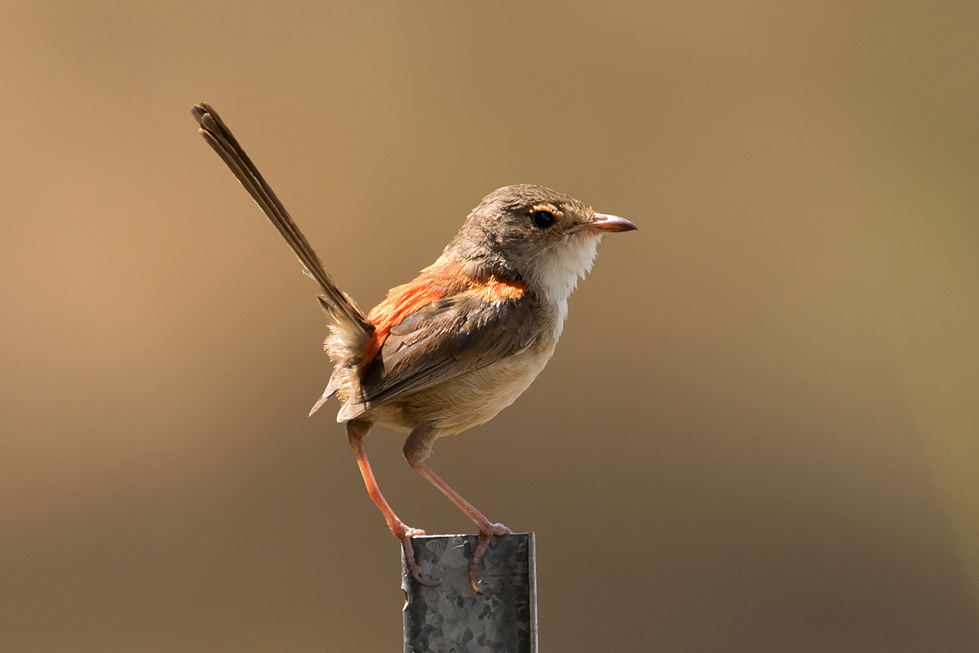 Red-backed Fairy-wren (Image ID 33904)