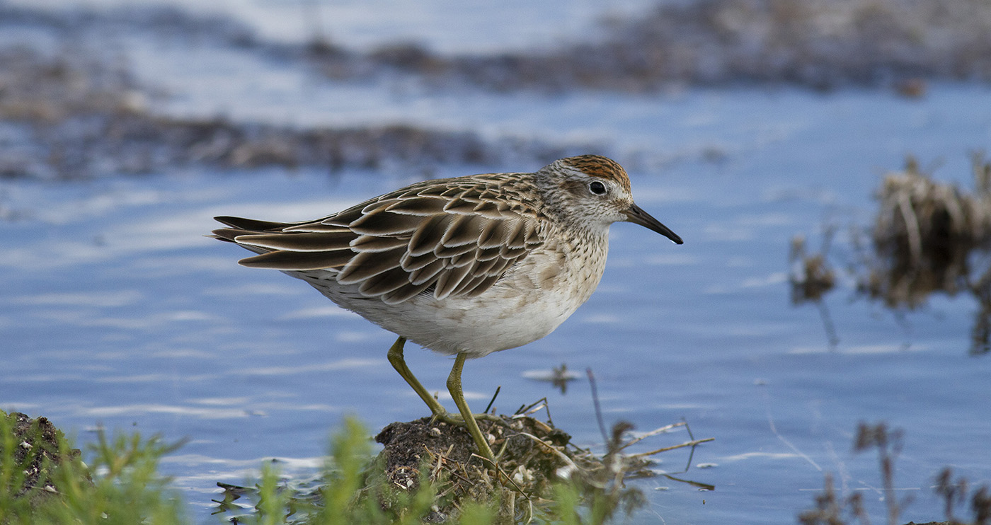 Sharp-tailed Sandpiper (Image ID 34079)