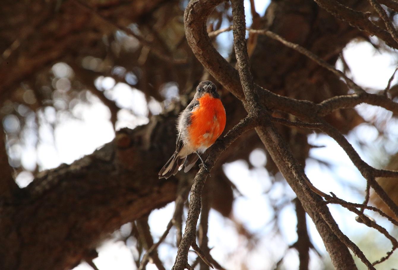 Flame Robin (Image ID 34116)