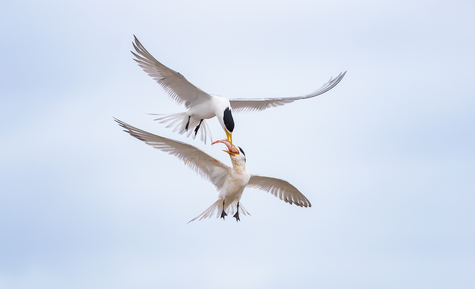 Crested Tern (Image ID 34211)