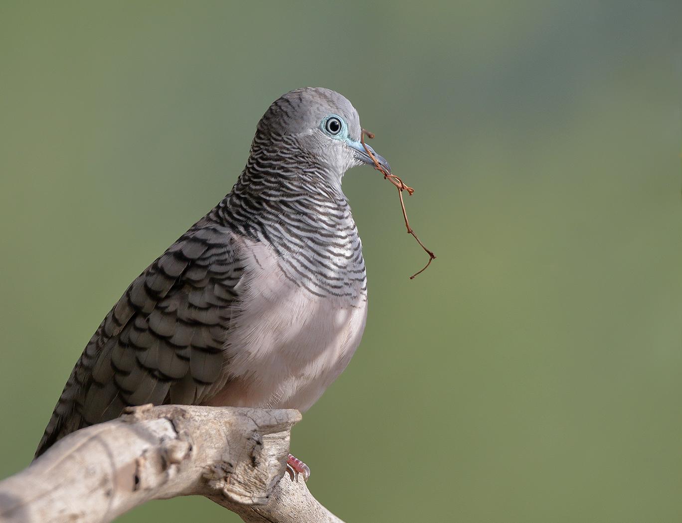 Peaceful Dove (Image ID 34061)