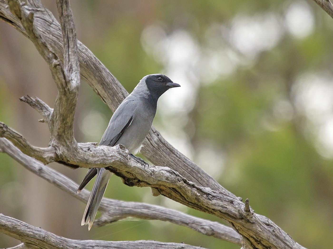 Black-faced Cuckoo-shrike (Image ID 33922)