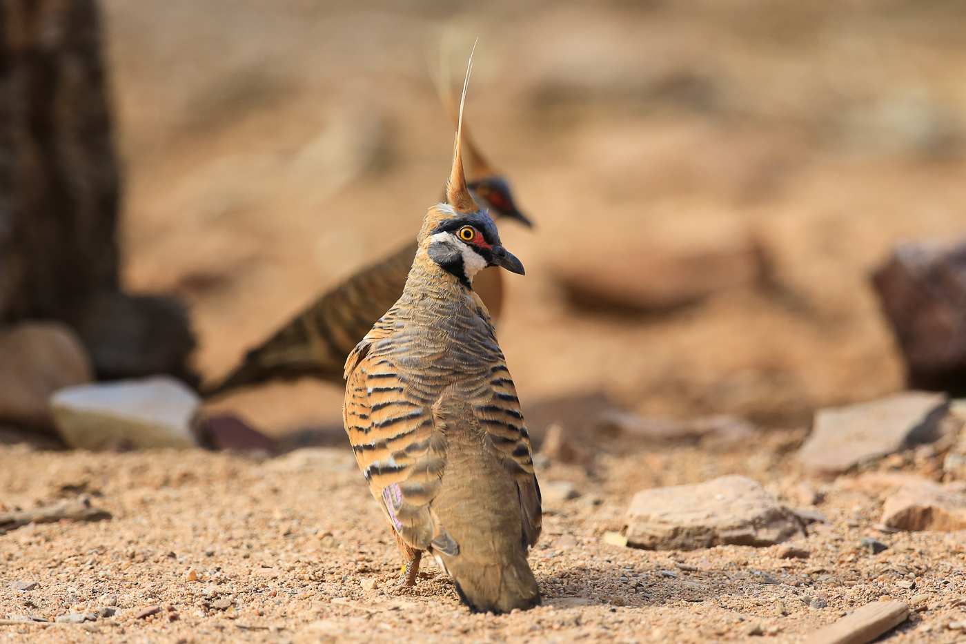 Spinifex Pigeon (Image ID 33995)
