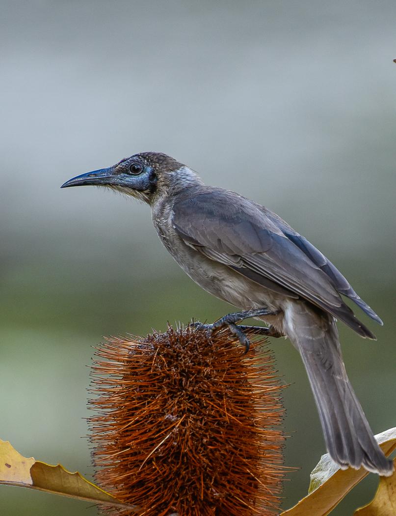 Little Friarbird (Image ID 34250)