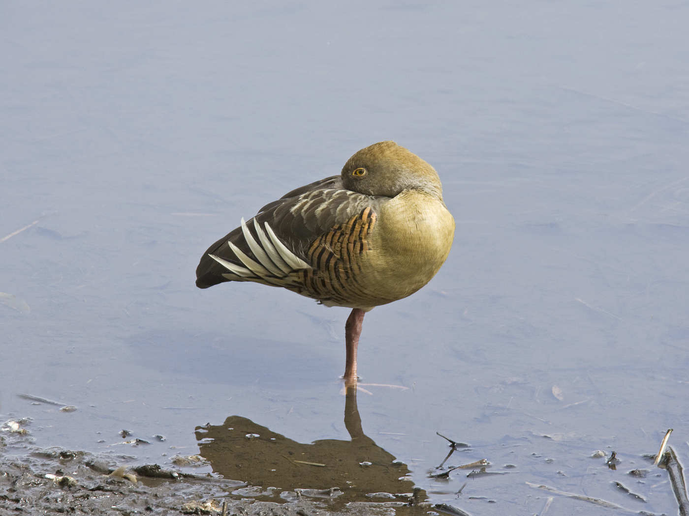 Plumed Whistling-Duck (Image ID 34123)