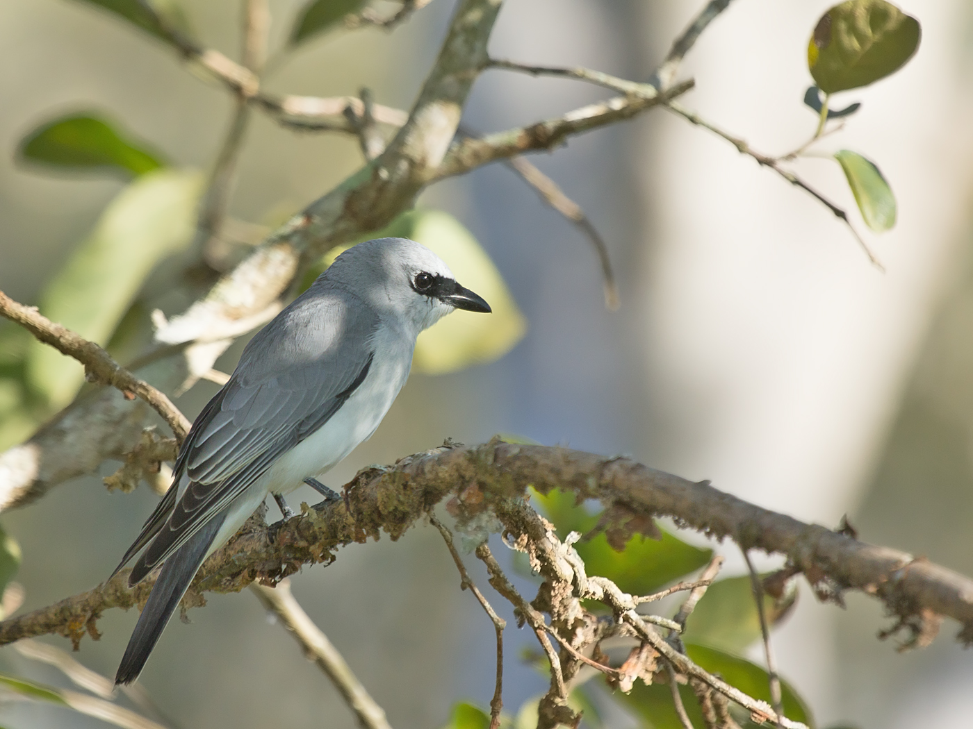 White-bellied Cuckoo-shrike (Image ID 34110)