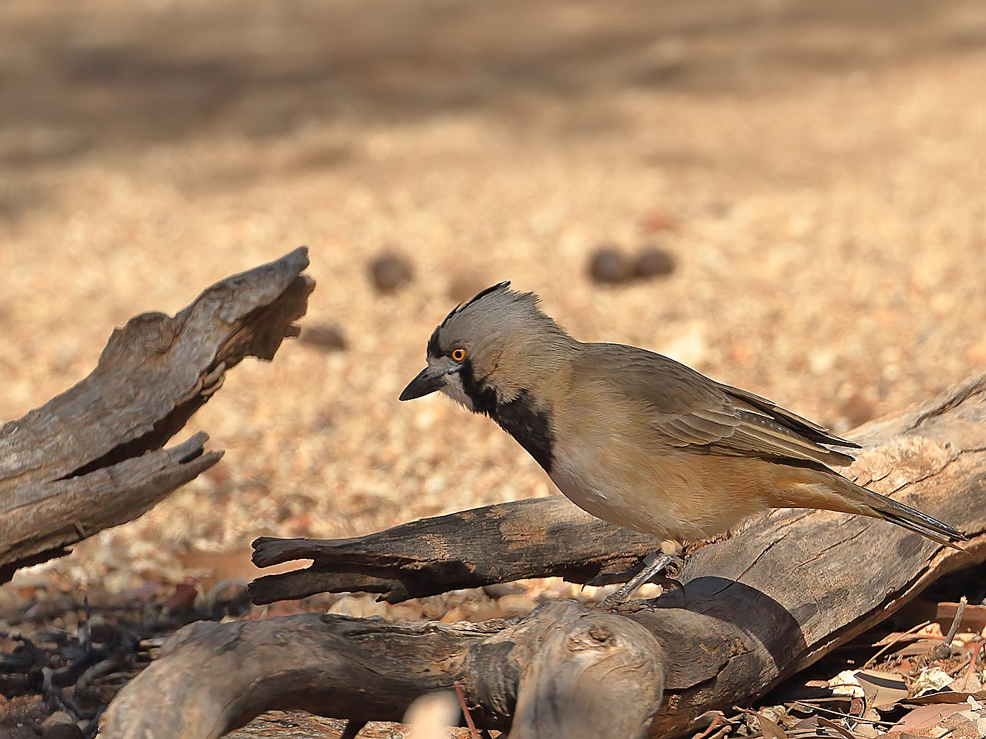 Crested Bellbird (Image ID 34117)