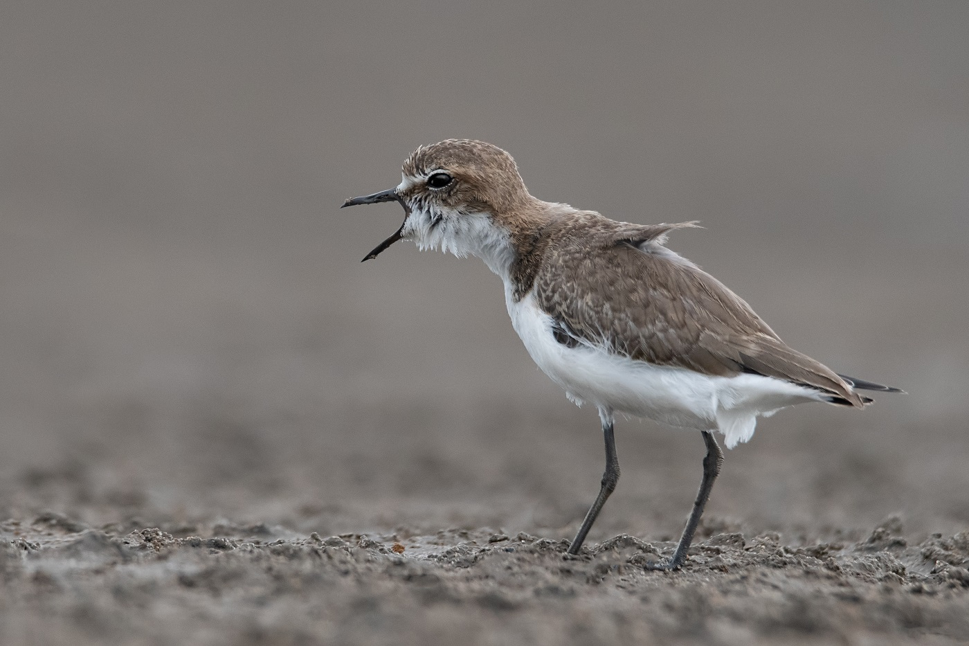 Red-capped Plover (Image ID 34351)