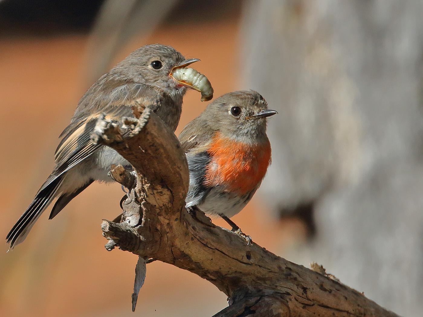 Scarlet Robin (Image ID 34135)