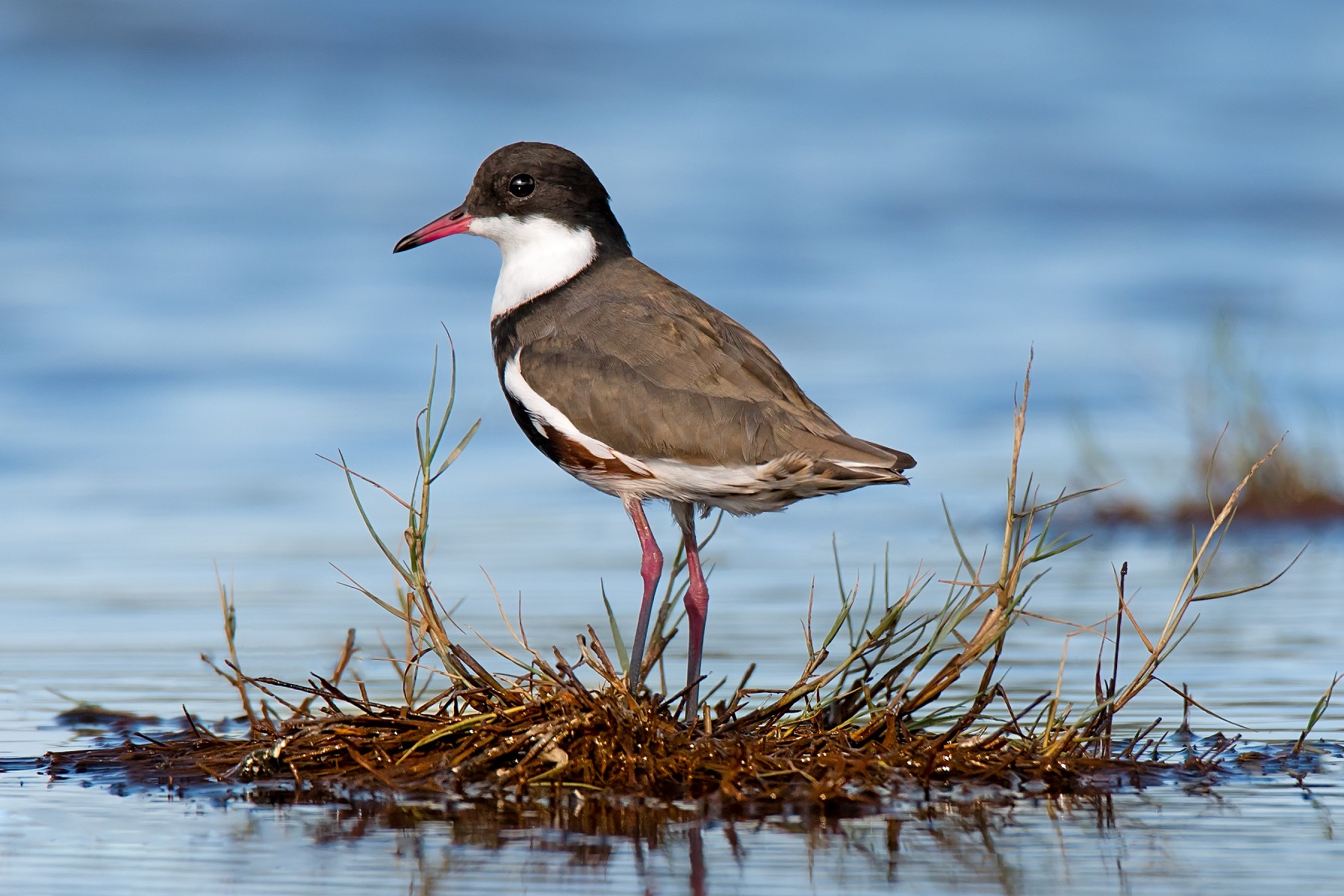 Red-kneed Dotterel (Image ID 34273)