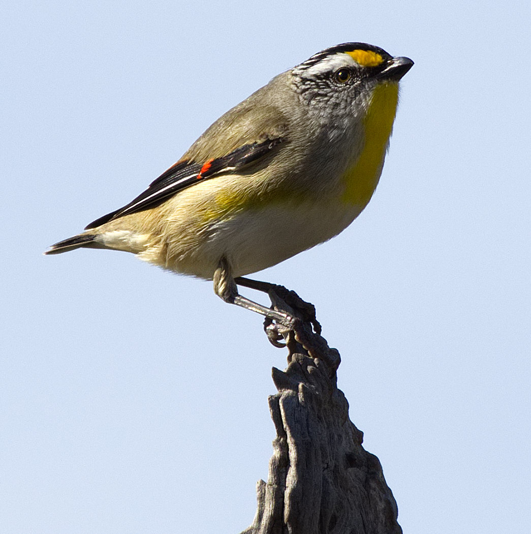 Striated Pardalote (Image ID 34048)