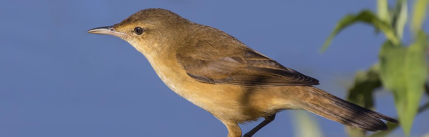 Australian Reed-Warbler (Image ID 33938)
