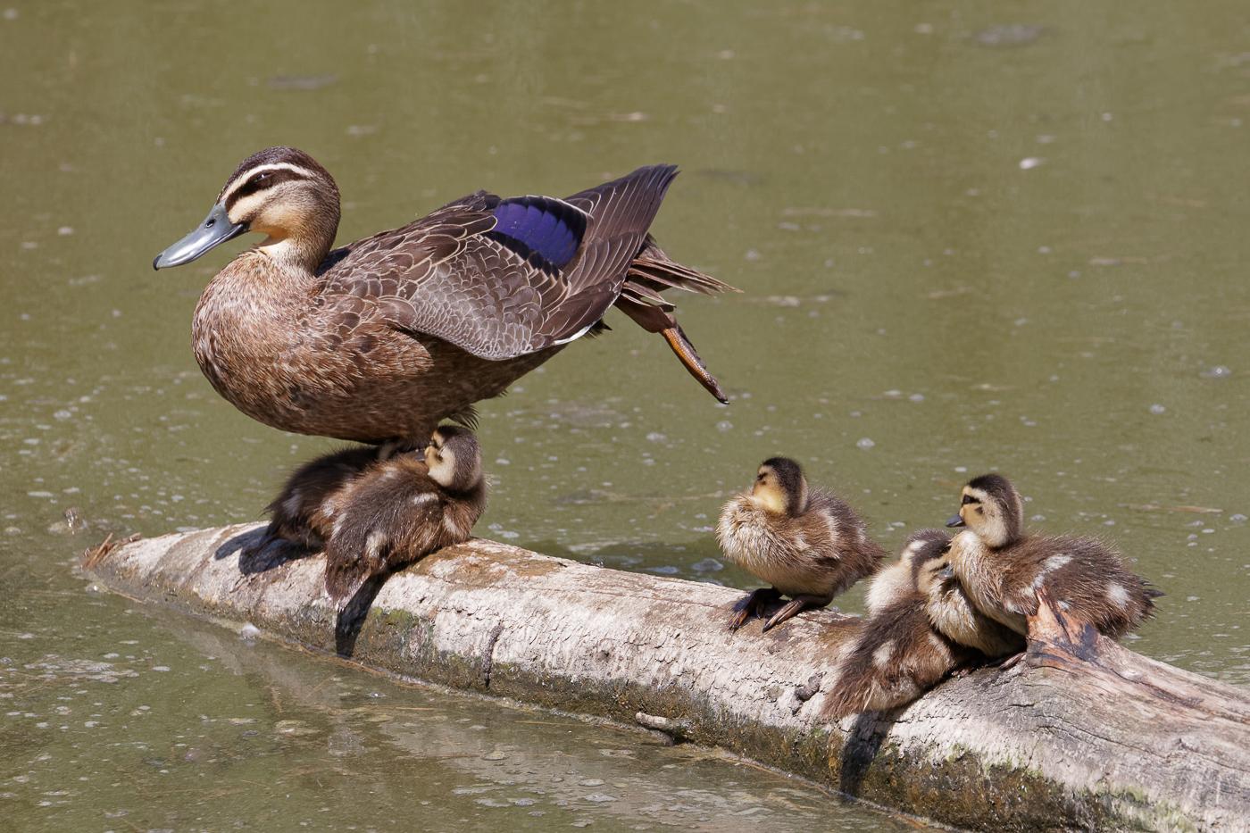 Pacific Black Duck (Image ID 34082)