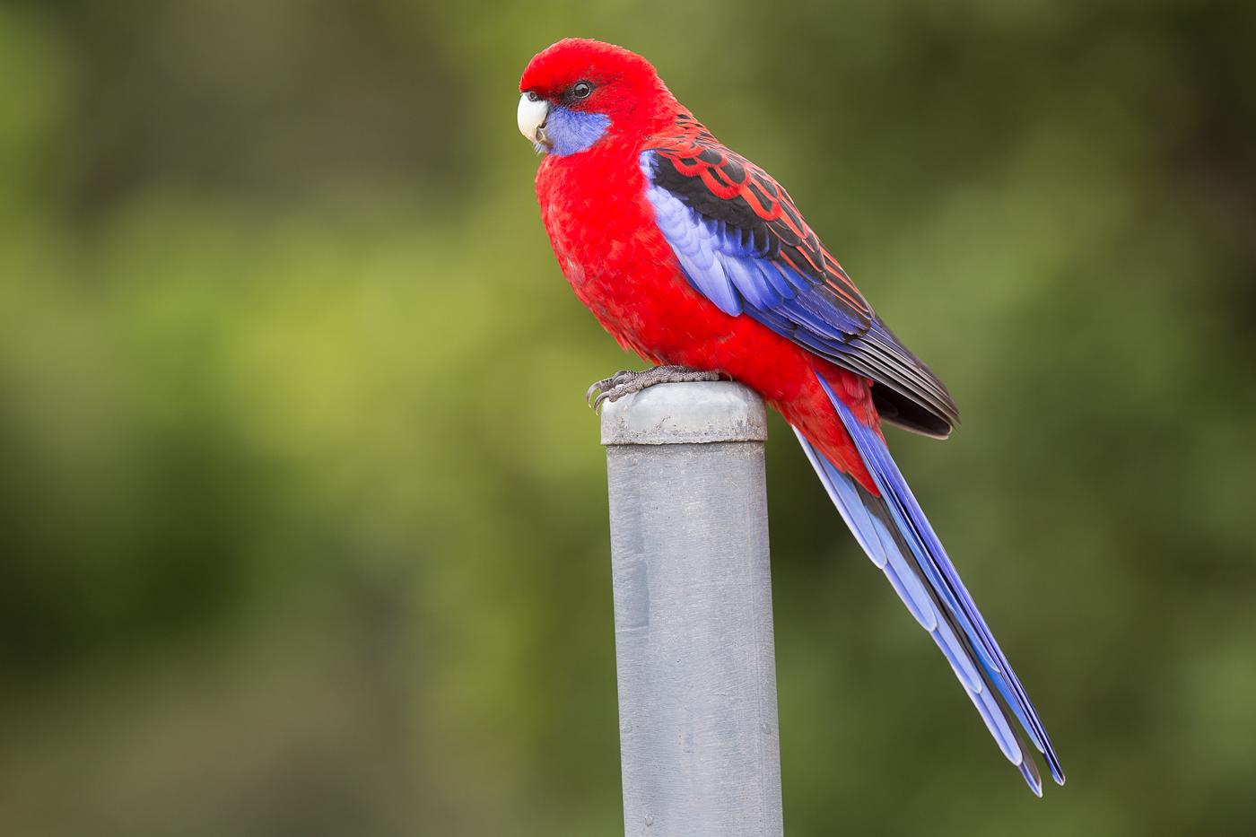 Crimson Rosella (Image ID 34304)