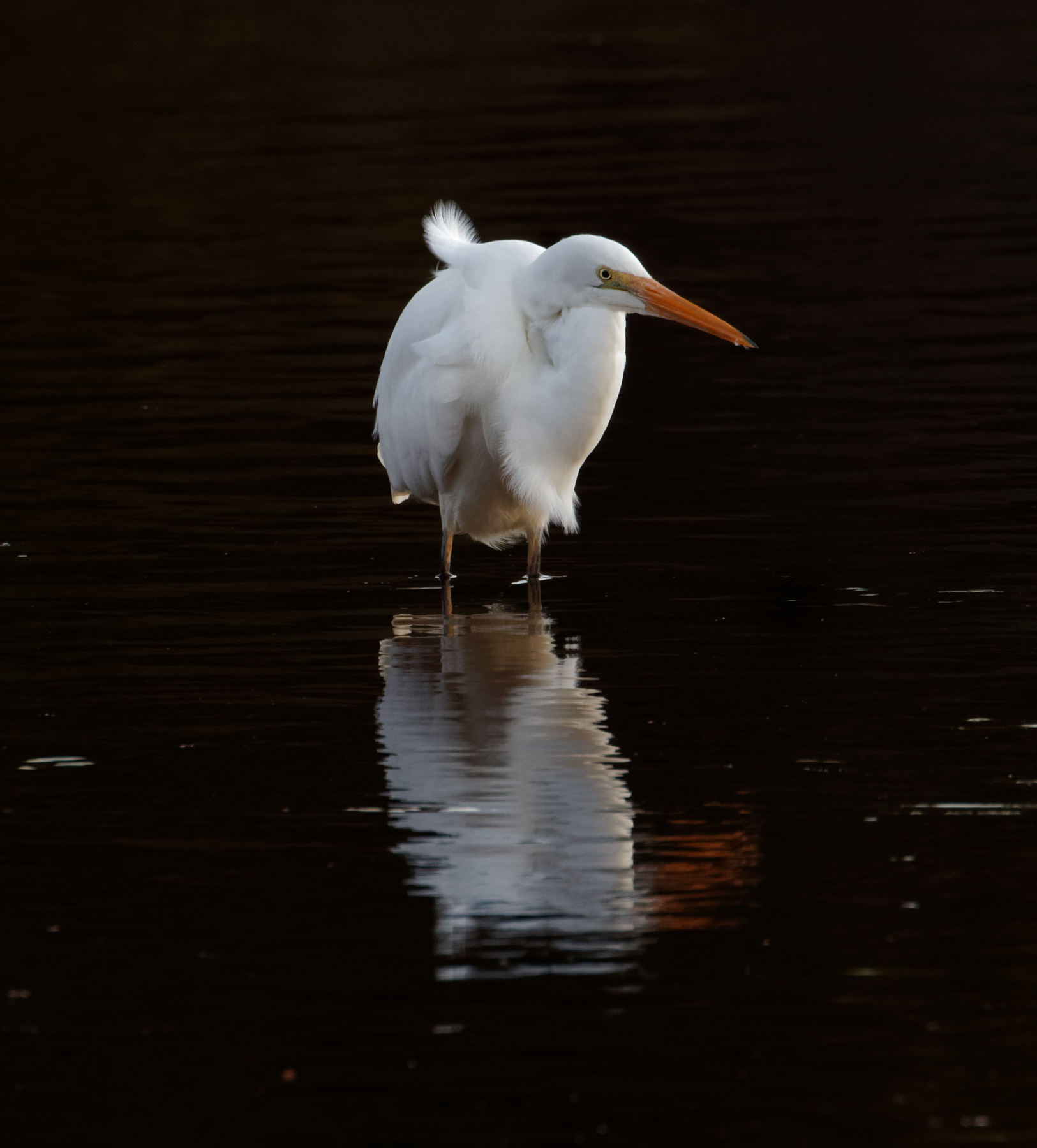 Great Egret (Image ID 34285)