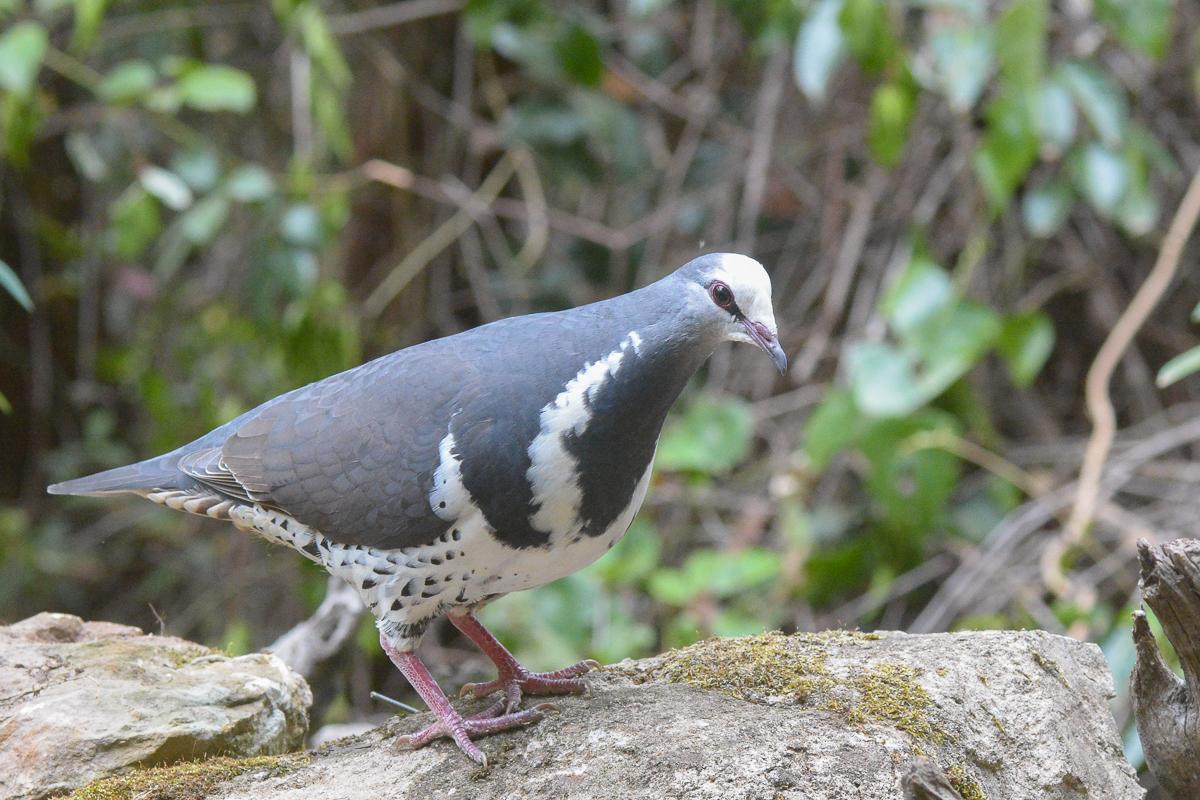 Wonga Pigeon (Image ID 34218)