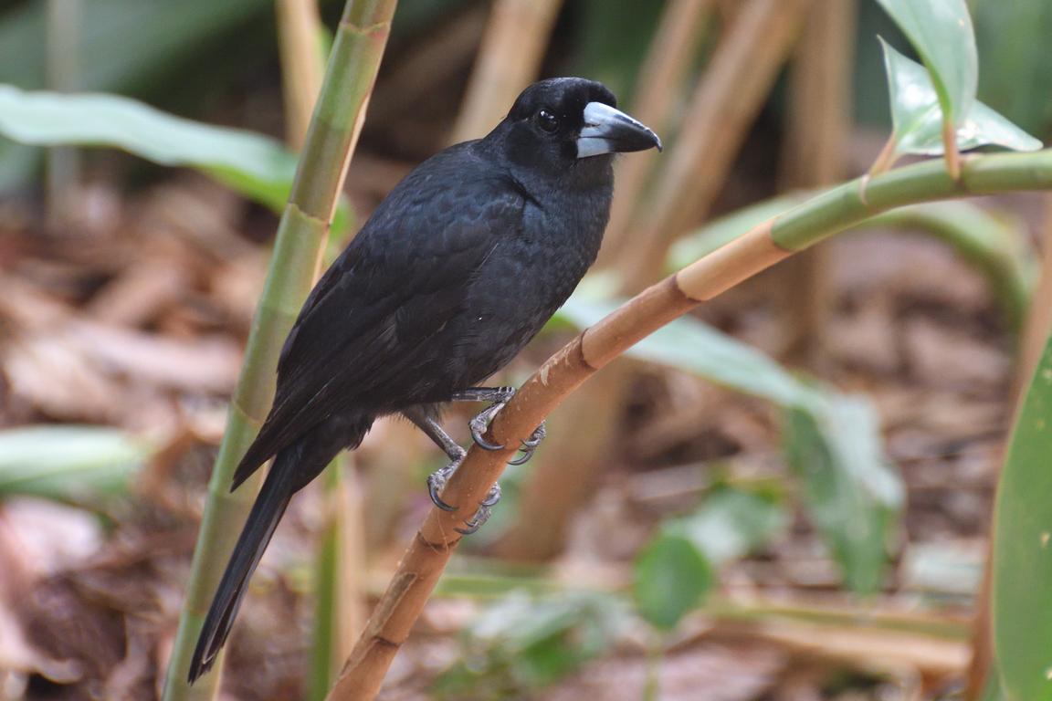 Black Butcherbird (Image ID 34148)