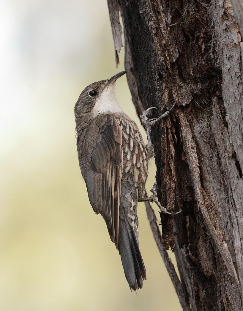White-throated Treecreeper (Image ID 33919)