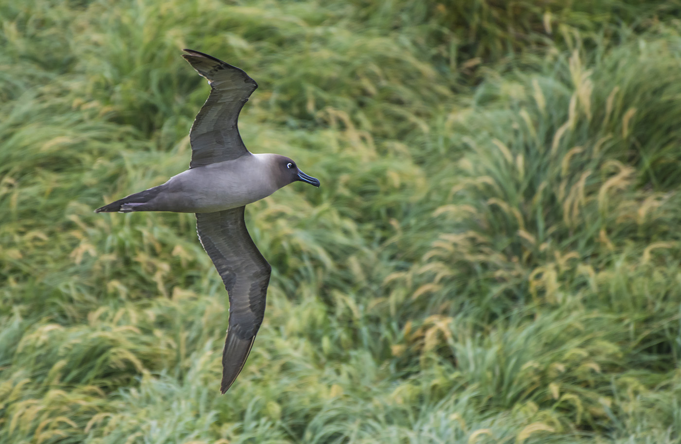 Light-mantled Sooty Albatross (Image ID 33983)