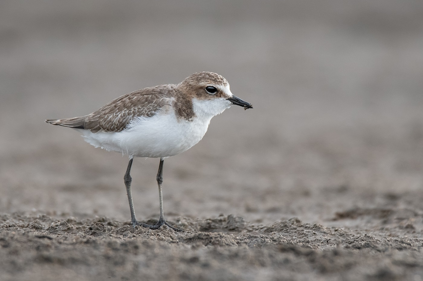 Red-capped Plover (Image ID 34349)