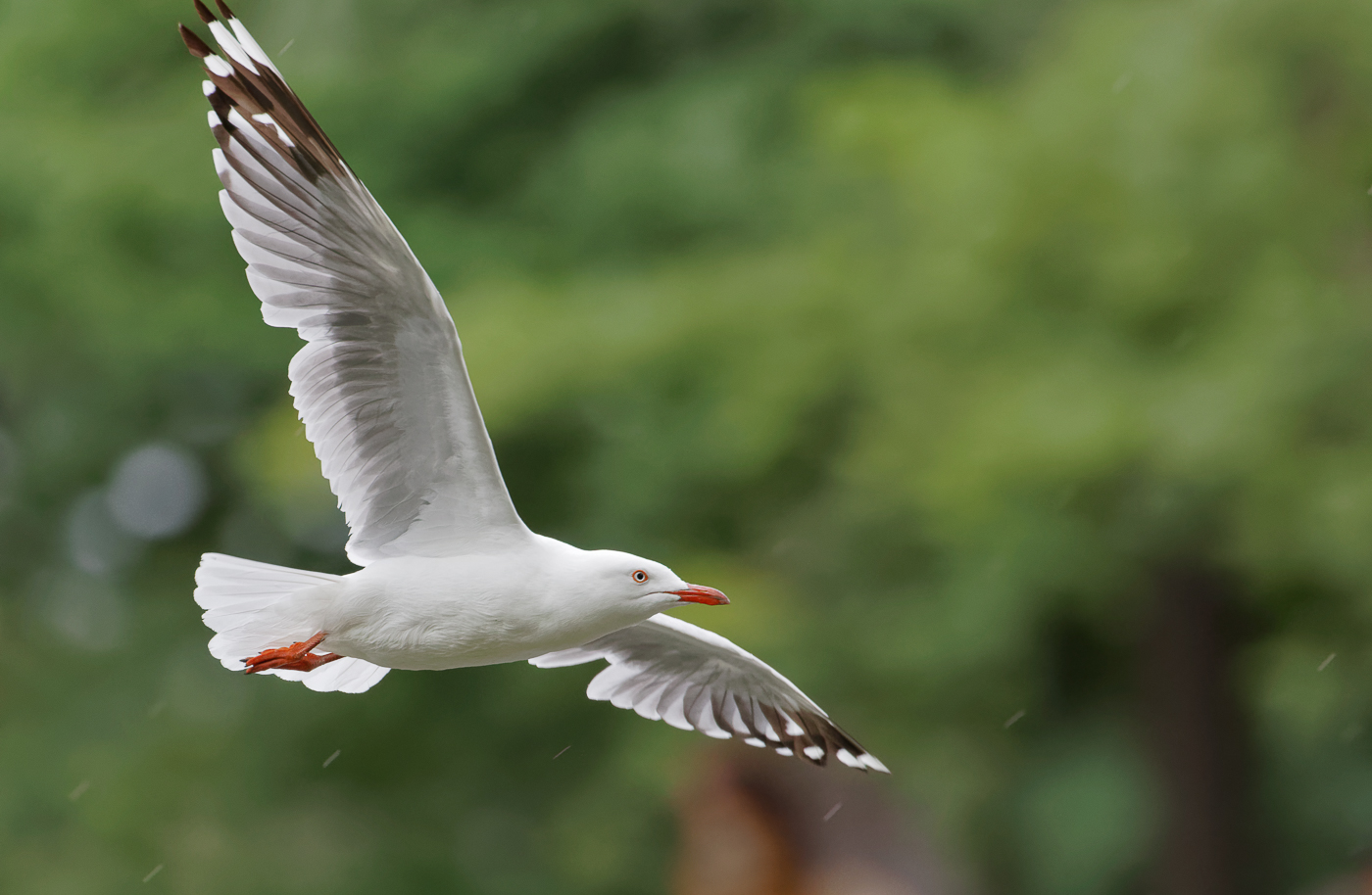 Silver Gull (Image ID 33959)