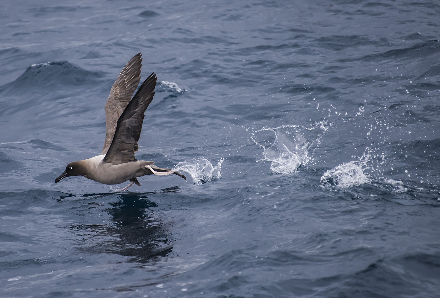Light-mantled Sooty Albatross (Image ID 33982)
