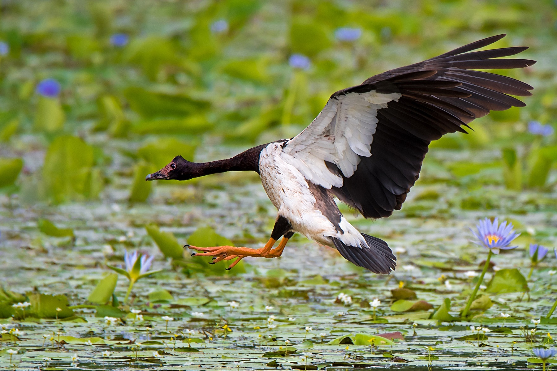 Magpie Goose (Image ID 34272)