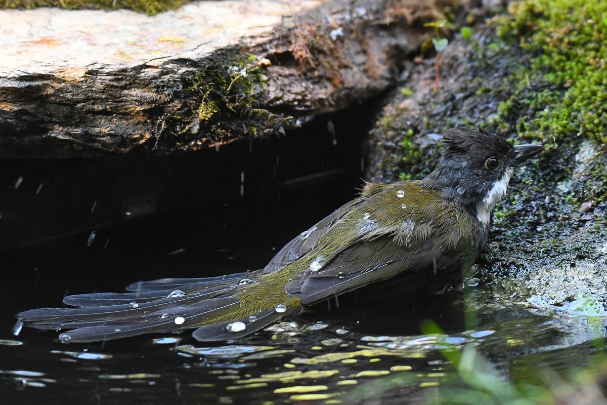 Eastern Whipbird (Image ID 34186)