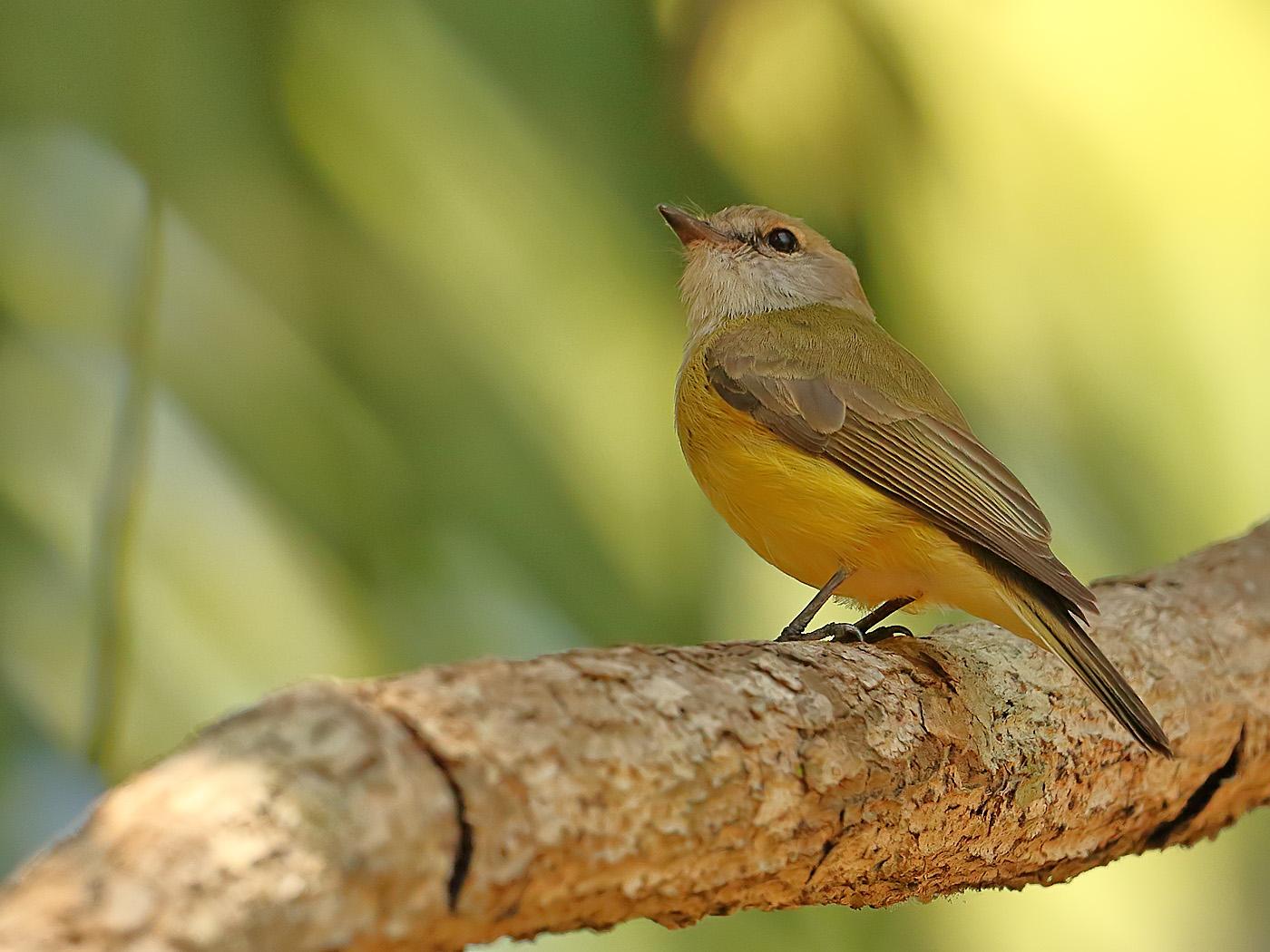 Lemon-bellied Flycatcher (Image ID 34131)