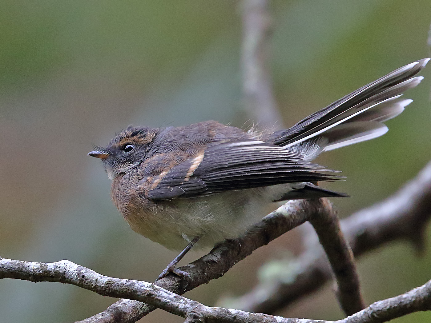Grey Fantail (Image ID 34134)