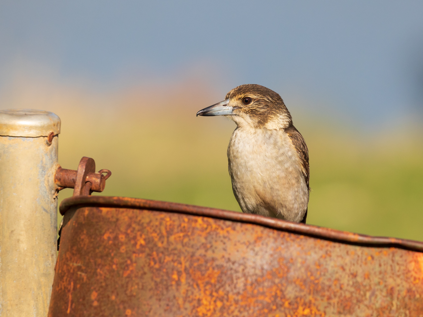 Grey Butcherbird (Image ID 34097)