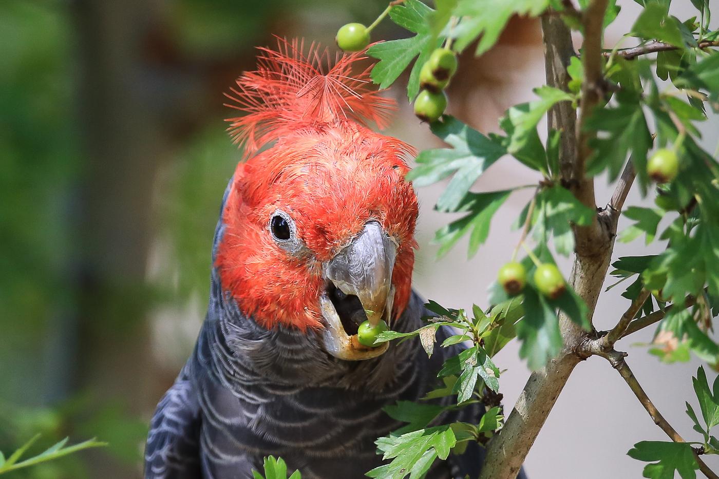 Gang-gang Cockatoo (Image ID 34021)