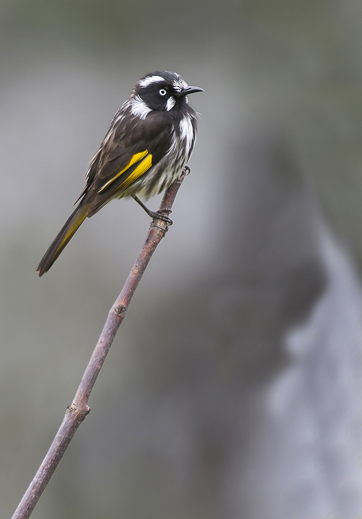 New Holland Honeyeater (Image ID 34054)