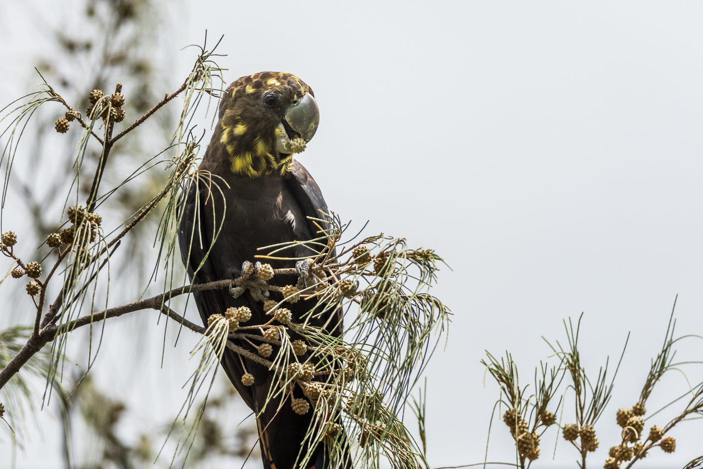 Glossy Black-Cockatoo (Image ID 34366)