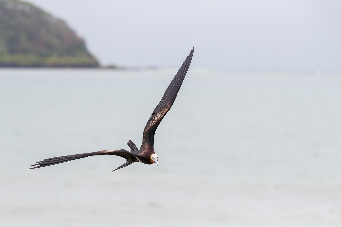 Lesser Frigatebird (Image ID 34411)