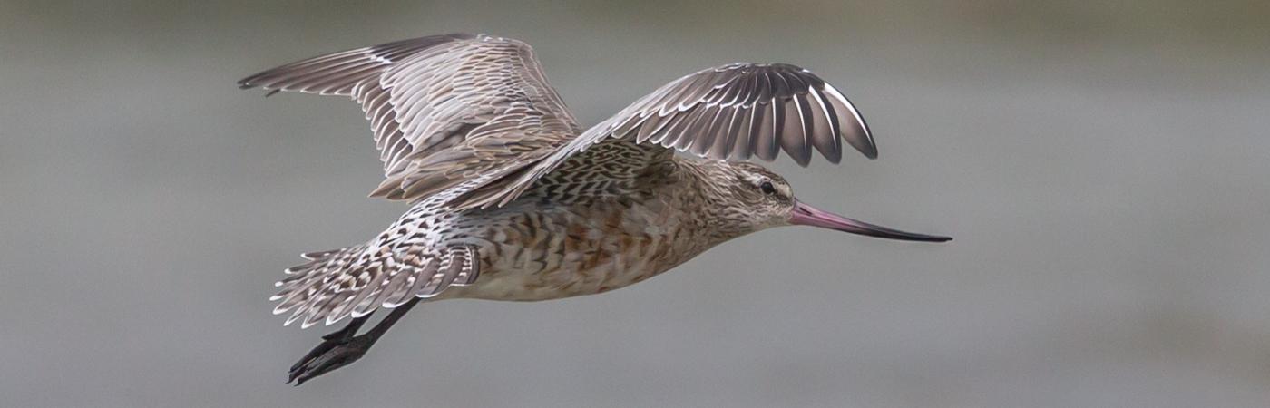 Bar-tailed Godwit (Image ID 34628)
