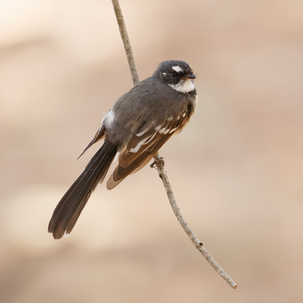 Grey Fantail (Image ID 34388)